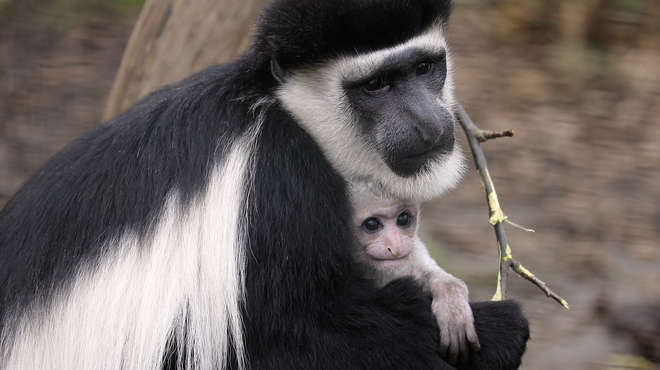 ısıtılan kafes ana maymun yavru deneyi